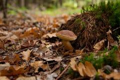 与秋叶的牛肝菌蕈类 免版税库存图片