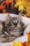 与秋叶的逗人喜爱的挪威森林小猫 库存照片