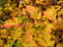 与秋叶黄色树荫装饰物灌木的宏观照片背景 库存照片