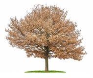 与秋天叶子的一个被隔绝的橡树 免版税库存照片