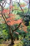 与秋天叶子的小树 免版税图库摄影