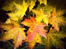 与秋天槭树叶子的背景 免版税库存照片