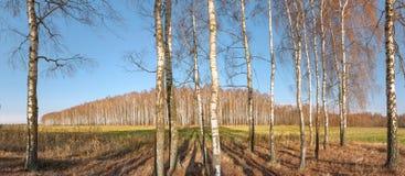与秋天的桦树在设置老篱芭和领域在距离的国家上色丢失他们的叶子 库存图片