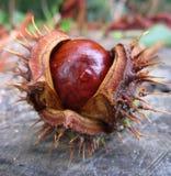 与秋天纹理圆的褐色的宏观照片打开了欧洲七叶树树的果子  免版税库存图片