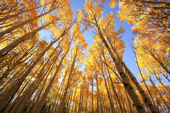 与秋天颜色的亚斯本树,圣胡安国家森林,科罗拉多 免版税库存照片