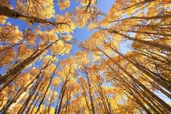与秋天颜色的亚斯本树,圣胡安国家森林,科罗拉多 免版税库存图片