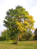 与秋天黄色和绿色叶子的大一棵蔓延的树在秋天美丽如画的风景的草甸 库存图片