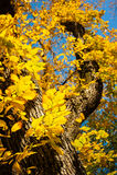 与秋天黄色的美丽的树离开反对蓝天在Fal 免版税库存照片