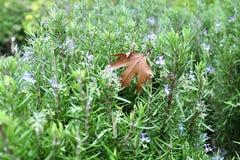 与秋天mapple叶子的自然狂放的迷迭香 免版税库存照片