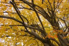 与秋季叶子的波斯铁木树树 库存照片