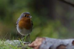 与种子的欧洲知更鸟在额嘴 库存图片