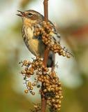 与种子的母黄色Rumped鸣鸟 库存照片