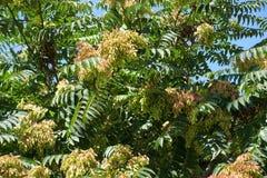 与种子的臭桩altissima在威严 免版税图库摄影