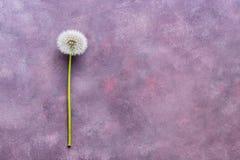 与种子的蓬松蒲公英在美好的抽象背景,拷贝空间,顶视图 抽象桃红色紫色背景 免版税图库摄影