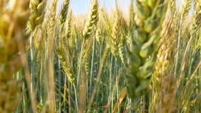 与种子的词根谷物面包的 影视素材