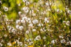 与种子的领域黄色花 免版税图库摄影