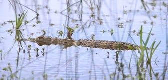与秘密行动的鳄鱼游泳在偷偷靠近牺牲者的水厂中 免版税库存照片