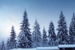 与积雪的冷杉木的美好的冬天横向 库存图片