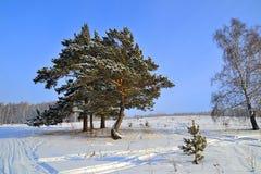 与积雪的杉木的冬天风景。 免版税库存照片