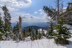 与积雪的树的全景水平的看法 风景  库存图片