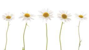 与稀薄的茎的五棵春黄菊 免版税库存照片