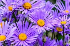与稀薄的紫罗兰色瓣的翠菊 免版税库存照片
