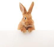 与空白的兔子 库存图片