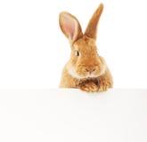 与空白的兔子 免版税库存照片