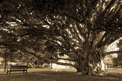 与空的长凳的老树在公园 库存照片