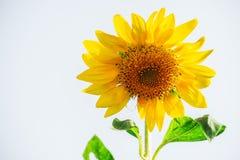 与空间白色的向日葵红色黄绿色白色背景 库存图片