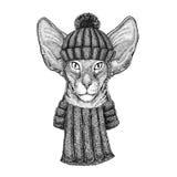 与穿被编织的帽子和围巾的大耳朵的东方猫 库存图片