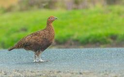 与穿过路的明亮的红色眼眉的红色松鸡 库存照片
