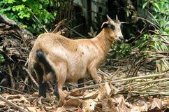 与站立在一个充分理由的小垫铁的一只棕色家养的短发母山羊 免版税库存照片