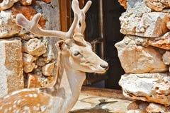 与站立在一个开窗口旁边的天鹅绒鹿角的一头幼小鹿 免版税图库摄影