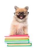 与站立在书的玻璃的微小的波美丝毛狗小狗 查出 免版税库存照片