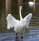 与站立在冰的一只滑稽的天鹅的美好的被隔绝的图象 库存照片
