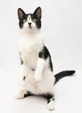 与站立在后腿的一只黑小猫的白色 图库摄影