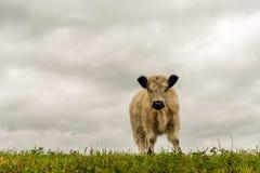与站立在堤堰顶部的一件厚实的外套的白色盖洛韦小牛 库存图片
