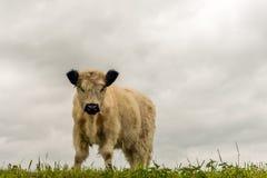 与站立在堤堰顶部的一件厚实的外套的白色盖洛韦小牛 免版税库存照片