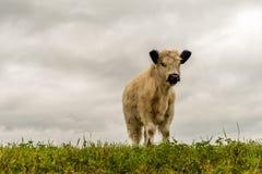 与站立在堤堰顶部的一件厚实的外套的白色盖洛韦小牛 图库摄影