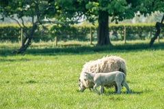 与站立在新绿色春天的母亲绵羊的新出生的羊羔 库存图片