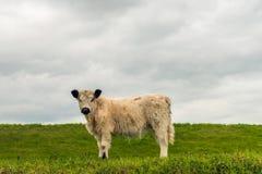 与站立在旁边的一件厚实的外套的侧视图白色盖洛韦小牛 免版税库存图片