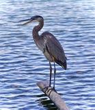 与站立在日志的一个伟大蓝色的苍鹭的巢的明信片 免版税库存照片