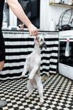 与站立在爪子的大眼睛的美丽的幼小Shih tzu狗 免版税库存照片