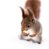 与站立在白色雪的蓬松尾巴的红松鼠 库存照片