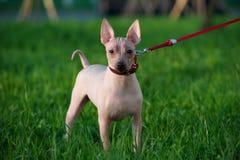 与站立在绿色草坪背景的红色皮带的美国无毛的狗 库存照片