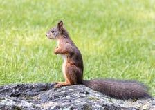 与站立在绿色gra的灰色石头的分蘖性尾巴的红松鼠 免版税库存照片