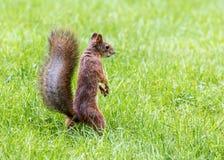 与站立在绿草的红色毛皮的灰鼠 免版税库存图片