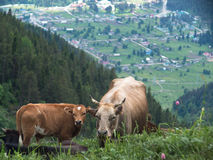 与站立在草甸的小牛特写镜头的母牛 库存图片