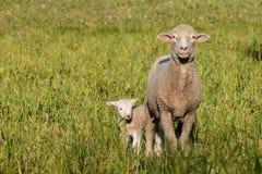 与站立在草甸的新出生的羊羔的母羊 库存图片